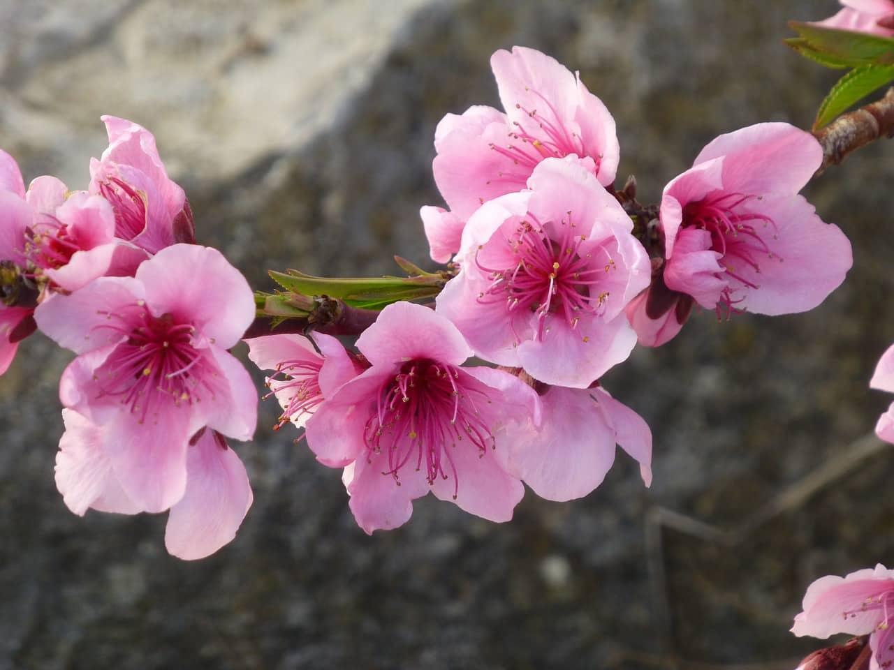 almond-blossom-2100049_1280