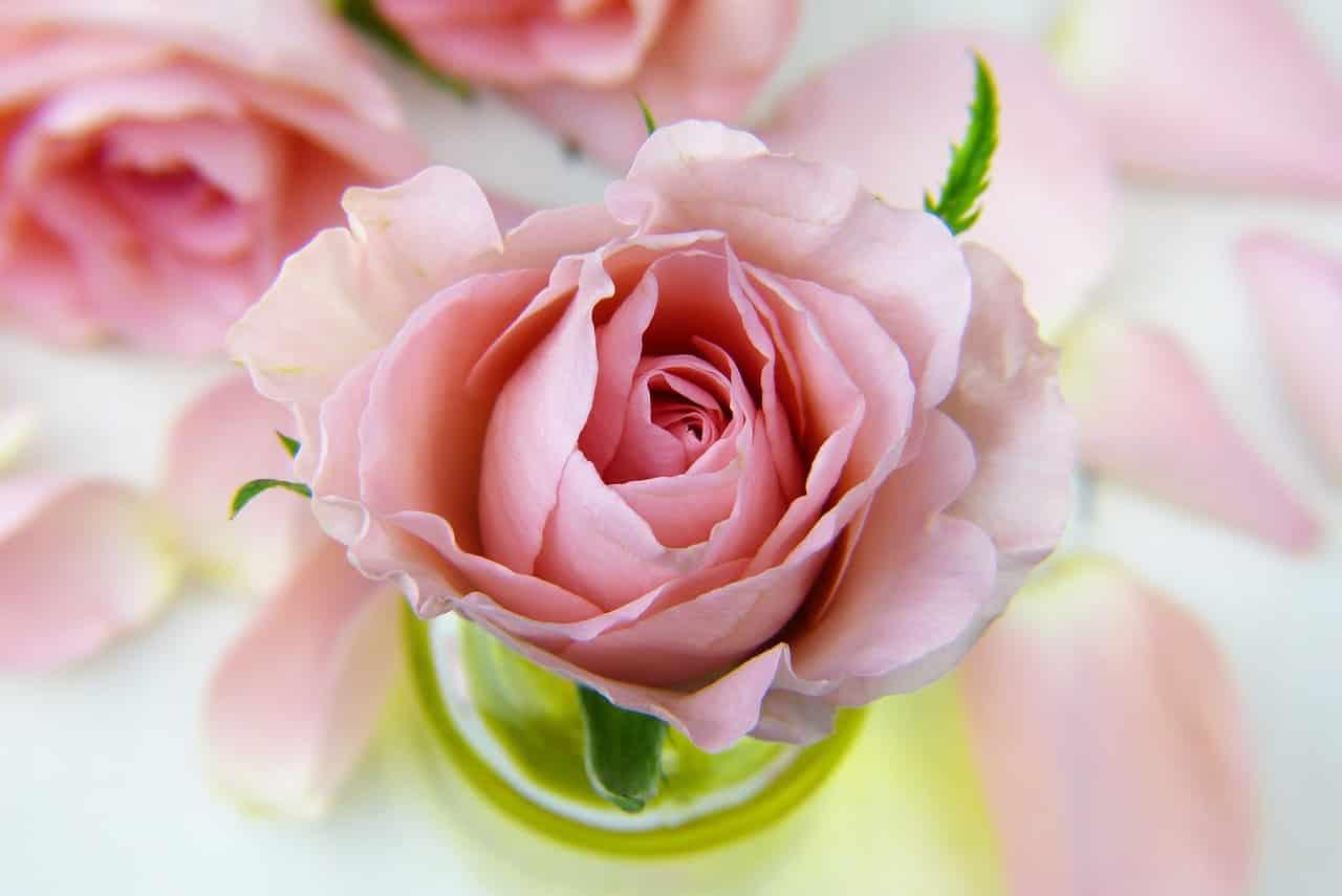 flower 3086563 1280 - รู้หรือไม่ ? ดอกกุหลาบแต่ละสีมีความหมายไม่เหมือนกัน