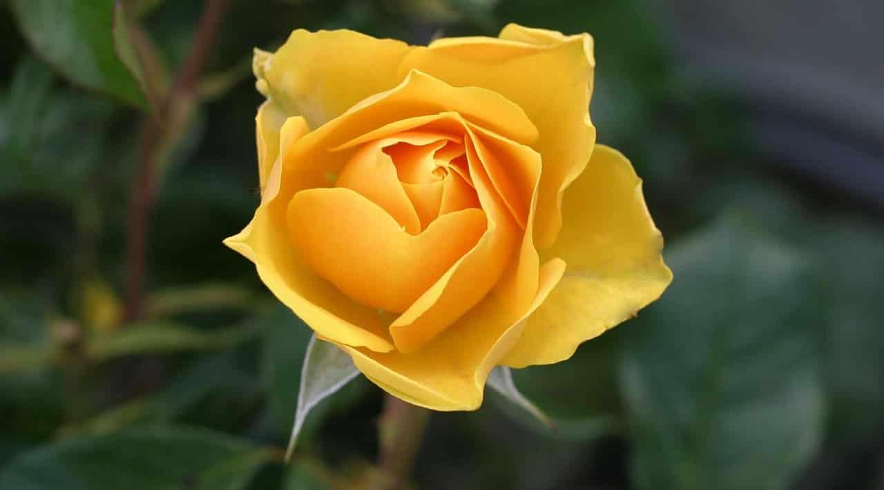 rose 113735 1280 - รู้หรือไม่ ? ดอกกุหลาบแต่ละสีมีความหมายไม่เหมือนกัน