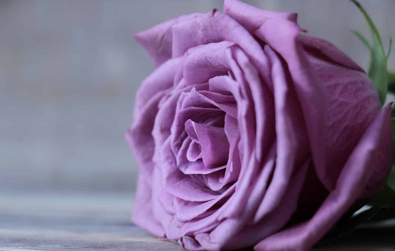 rose-2548784_1280