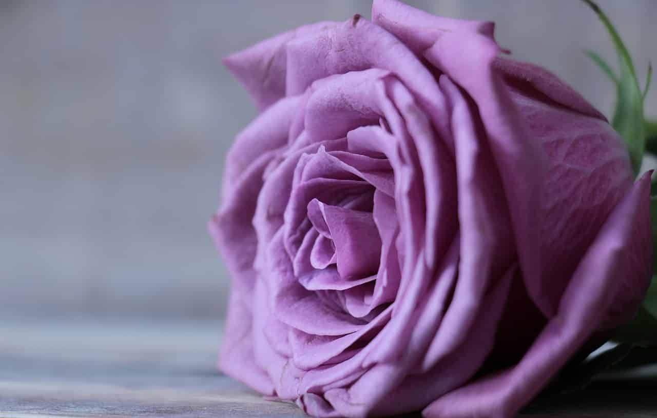 rose 2548784 1280 - รู้หรือไม่ ? ดอกกุหลาบแต่ละสีมีความหมายไม่เหมือนกัน