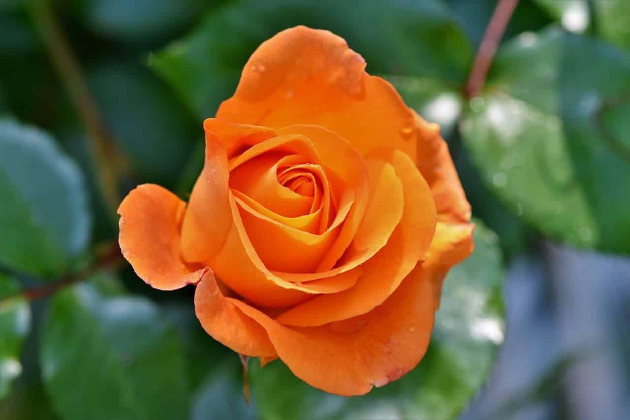 rose 3430964 1280 - รู้หรือไม่ ? ดอกกุหลาบแต่ละสีมีความหมายไม่เหมือนกัน