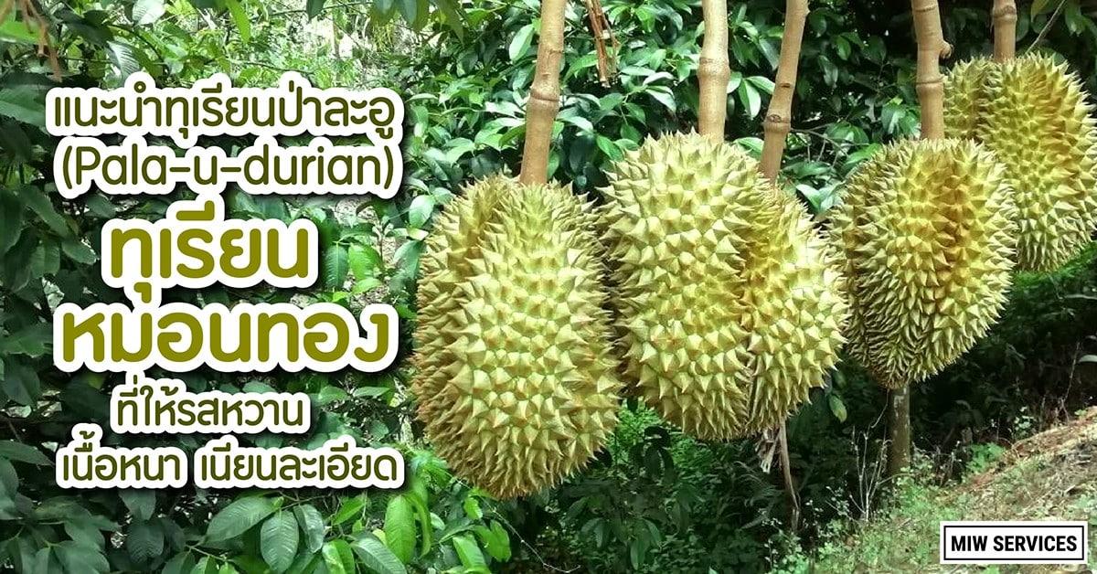 Website MIWServices Pala u durian.2 01 - แนะนำทุเรียนป่าละอู (Pala-u-durian) ทุเรียนหมอนทอง ที่ให้รสหวาน เนื้อหนาเนียนละเอียด
