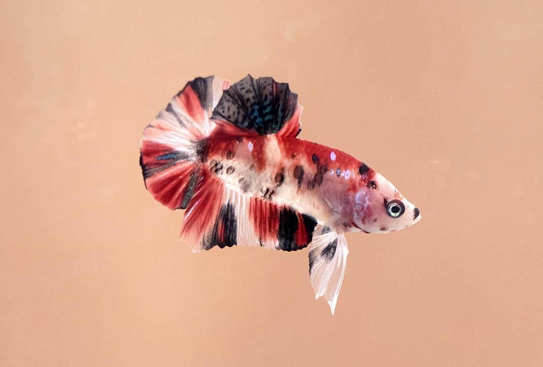 fish 02 - 5 พันธุ์ปลาสวยงาม น่าเลี้ยง พื้นที่น้อยก็เลี้ยงได้