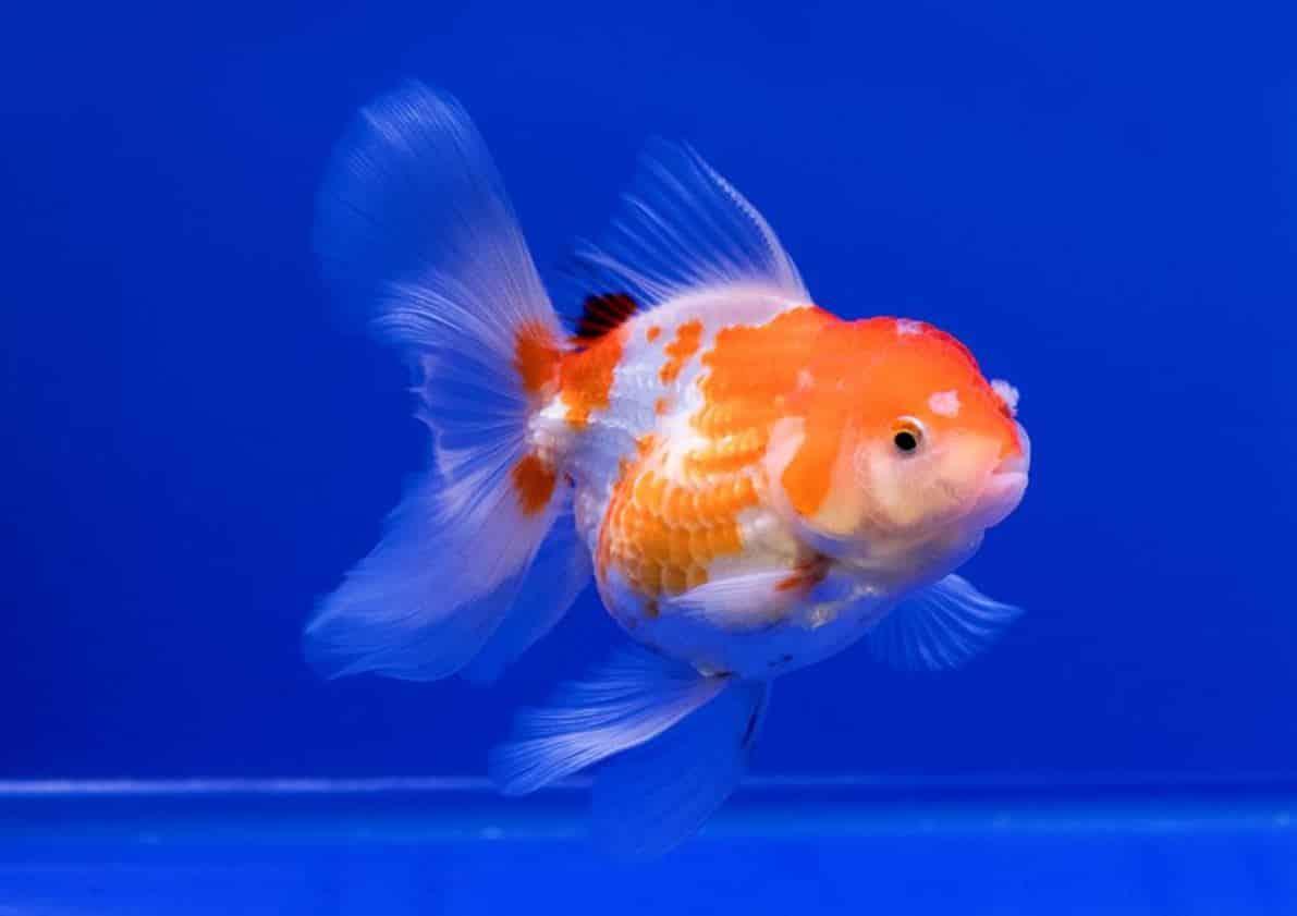 fish 03 - 5 พันธุ์ปลาสวยงาม น่าเลี้ยง พื้นที่น้อยก็เลี้ยงได้