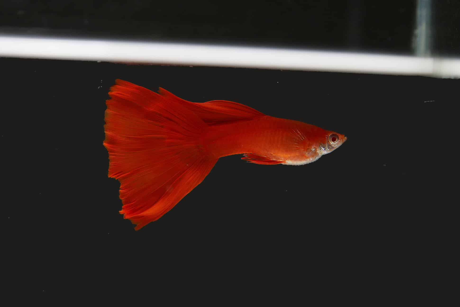 fish 04 - 5 พันธุ์ปลาสวยงาม น่าเลี้ยง พื้นที่น้อยก็เลี้ยงได้